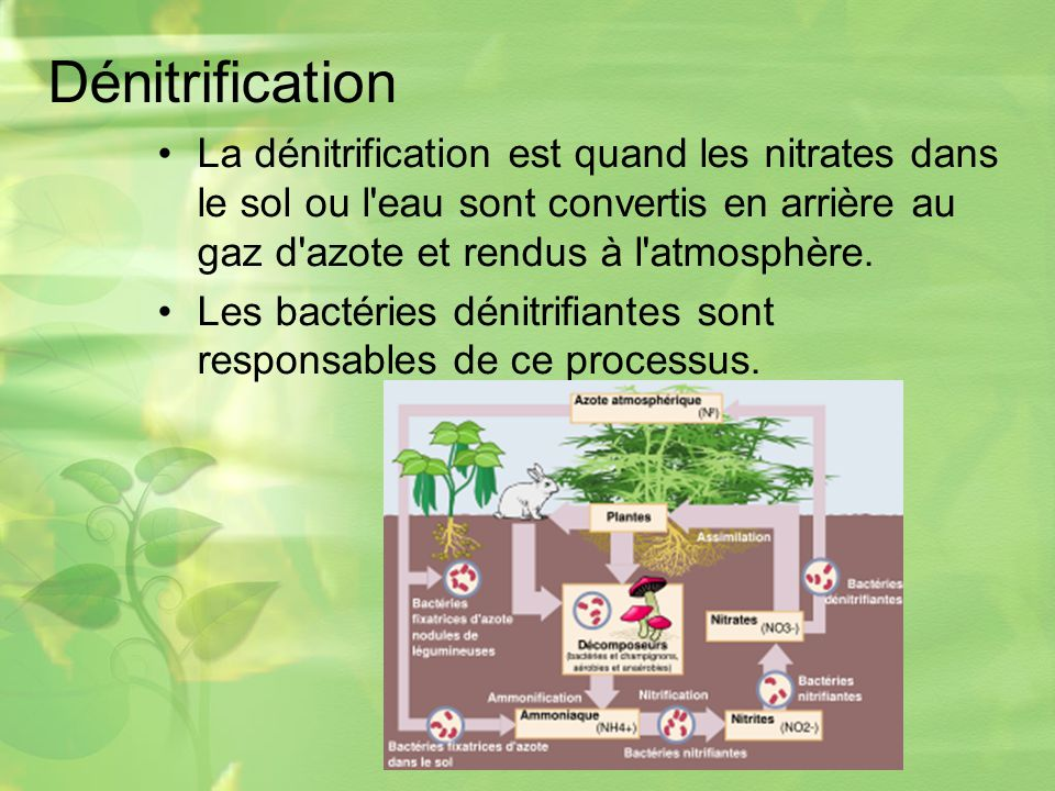 Dénitrification La dénitrification est quand les nitrates dans le sol ou l eau sont convertis en arrière au gaz d azote et rendus à l atmosphère.