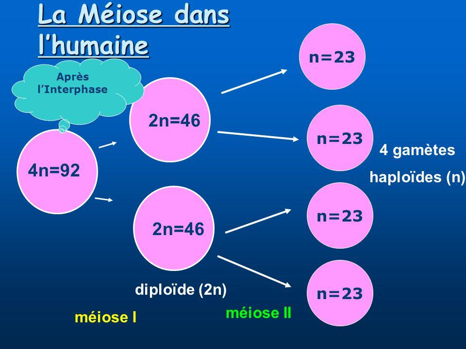 La Méiose dans l'humaine