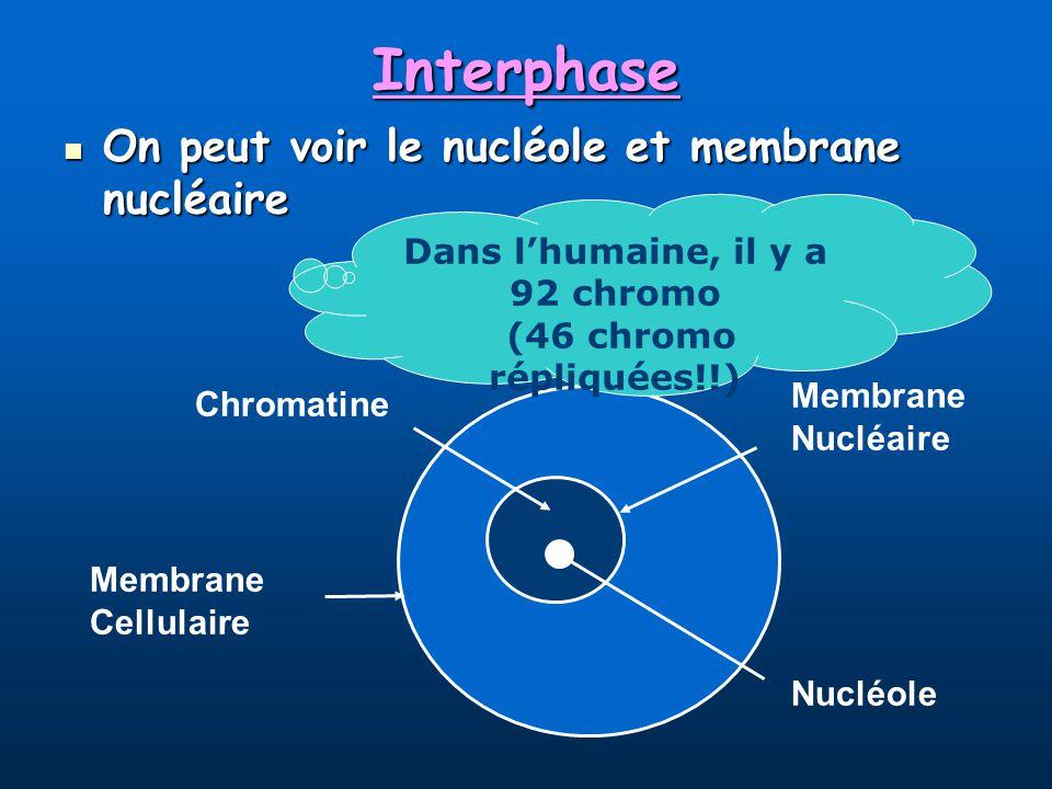 Dans l'humaine, il y a 92 chromo (46 chromo répliquées!!)