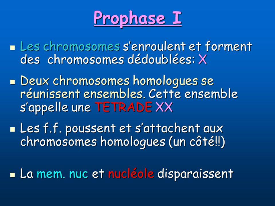 Prophase I Les chromosomes s'enroulent et forment des chromosomes dédoublées: X.