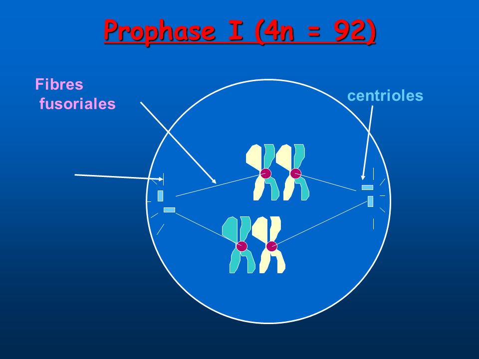 Prophase I (4n = 92) centrioles Fibres fusoriales