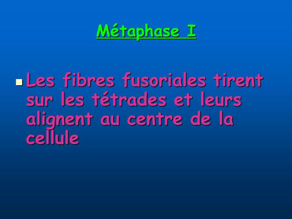 Métaphase I Les fibres fusoriales tirent sur les tétrades et leurs alignent au centre de la cellule
