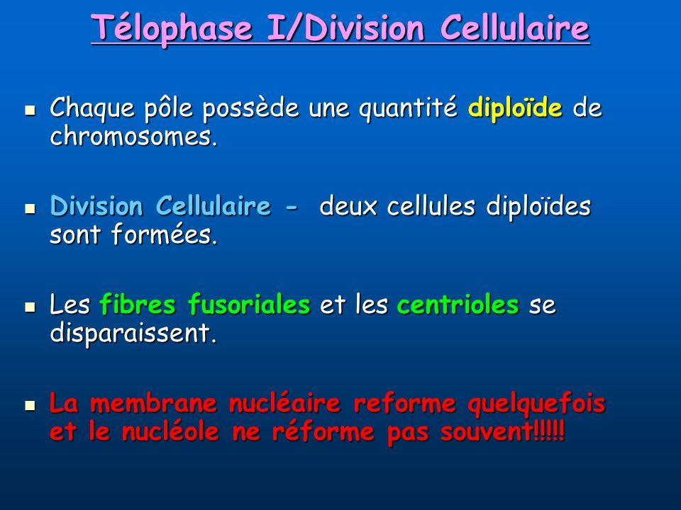 Télophase I/Division Cellulaire