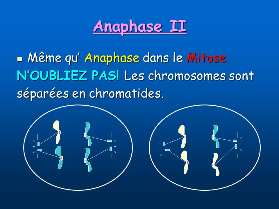 Anaphase II Même qu' Anaphase dans le Mitose