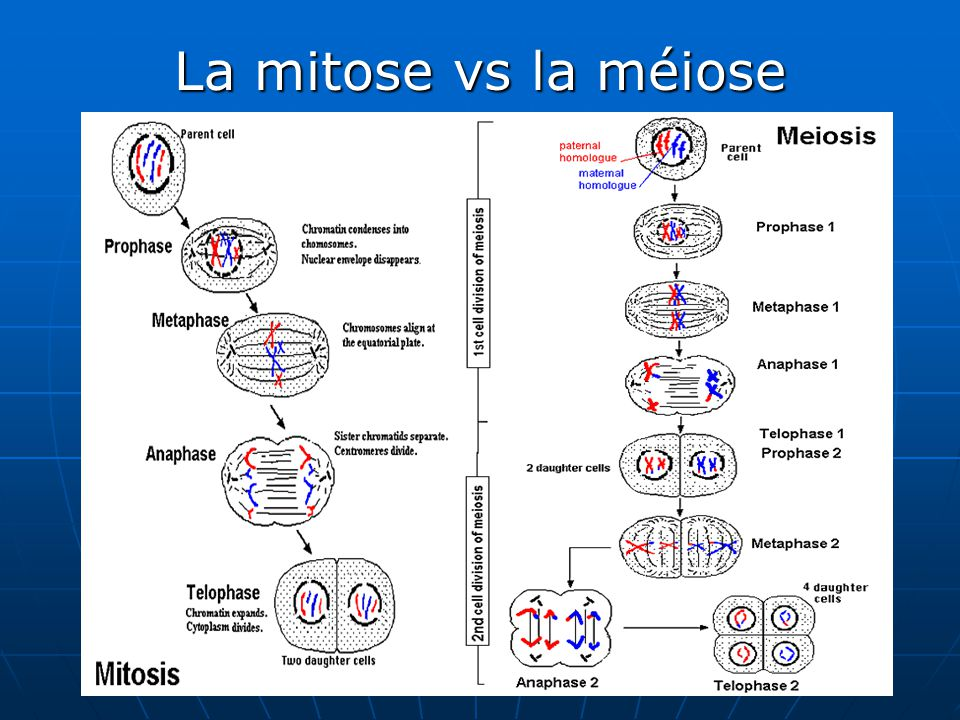 La mitose vs la méiose