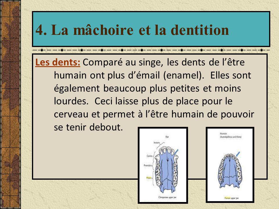 4. La mâchoire et la dentition