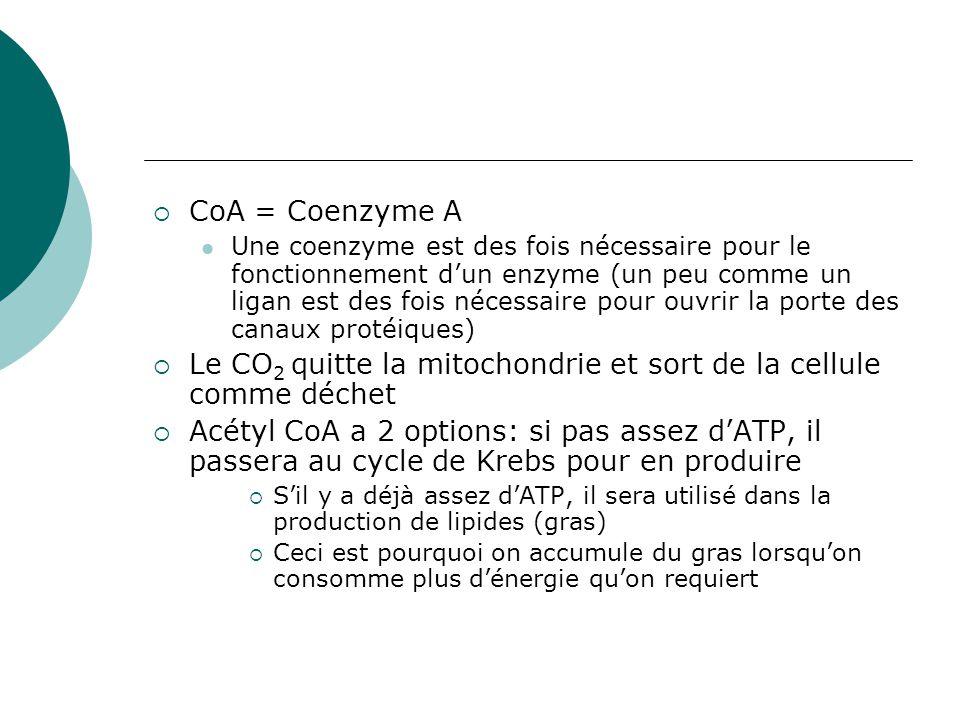 Le CO2 quitte la mitochondrie et sort de la cellule comme déchet