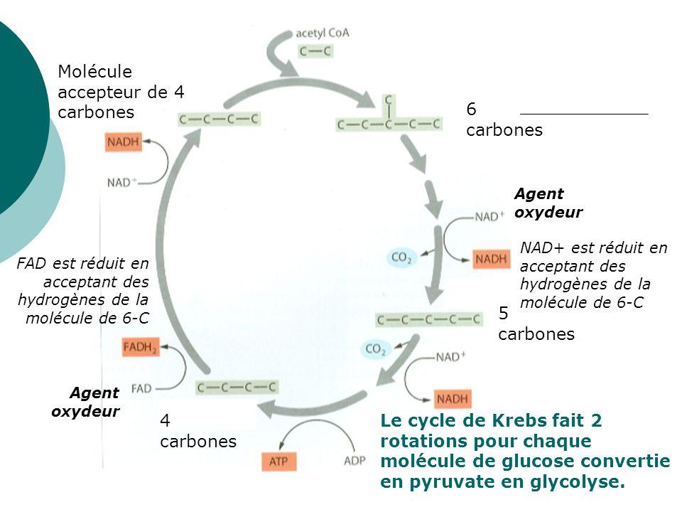 Molécule accepteur de 4 carbones