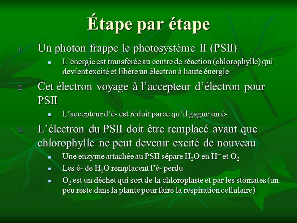Étape par étape Un photon frappe le photosystème II (PSII)