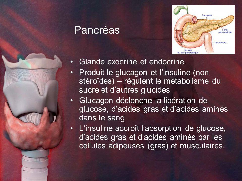 Pancréas Glande exocrine et endocrine