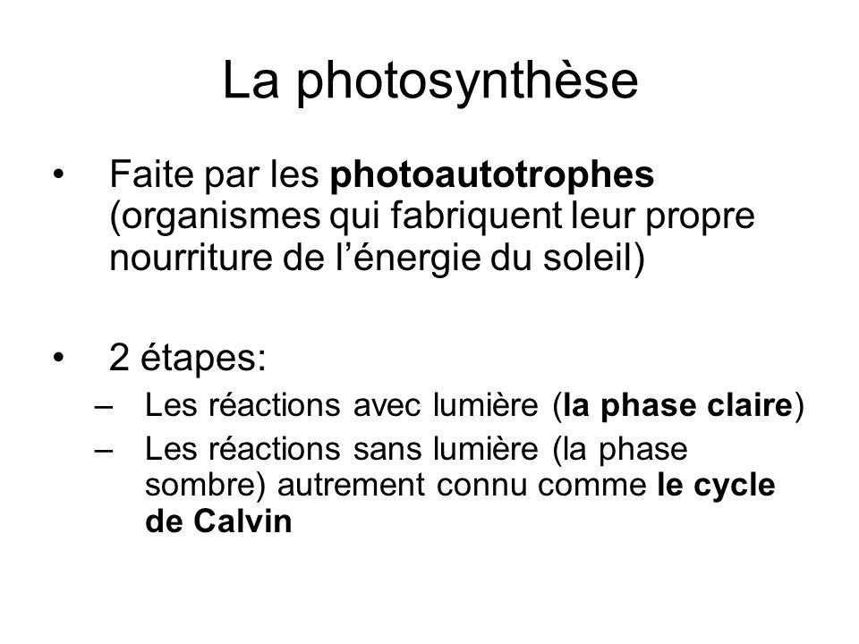 La photosynthèse Faite par les photoautotrophes (organismes qui fabriquent leur propre nourriture de l'énergie du soleil)