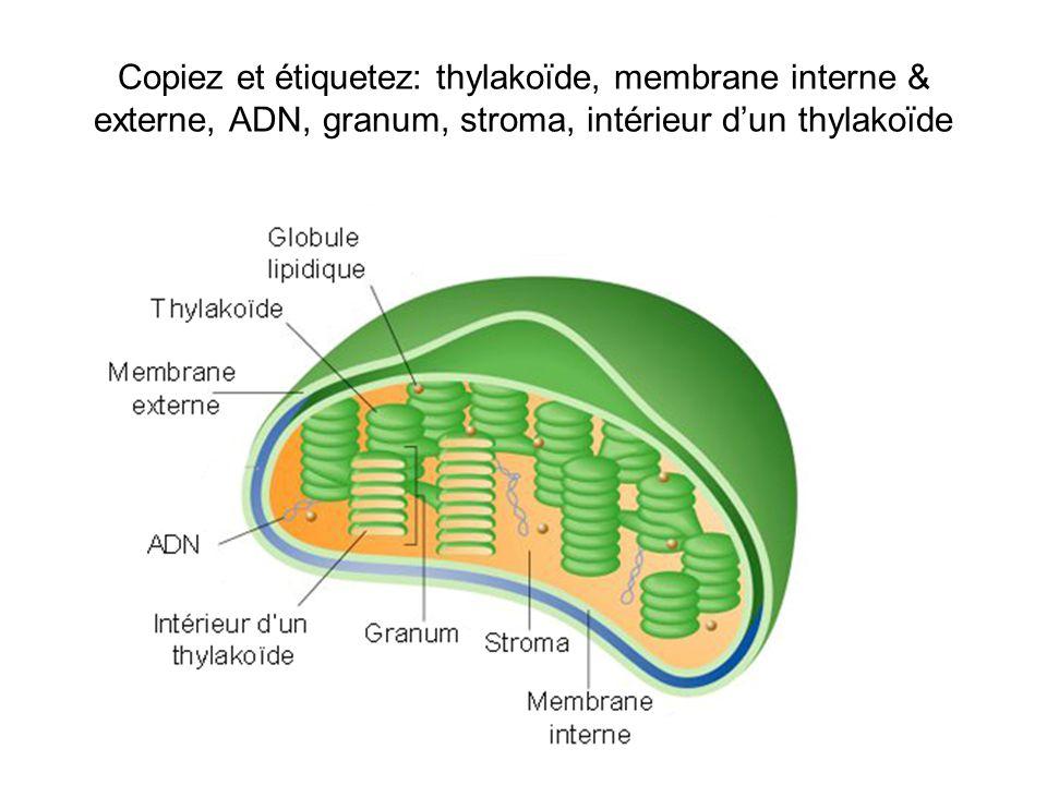 Copiez et étiquetez: thylakoïde, membrane interne & externe, ADN, granum, stroma, intérieur d'un thylakoïde