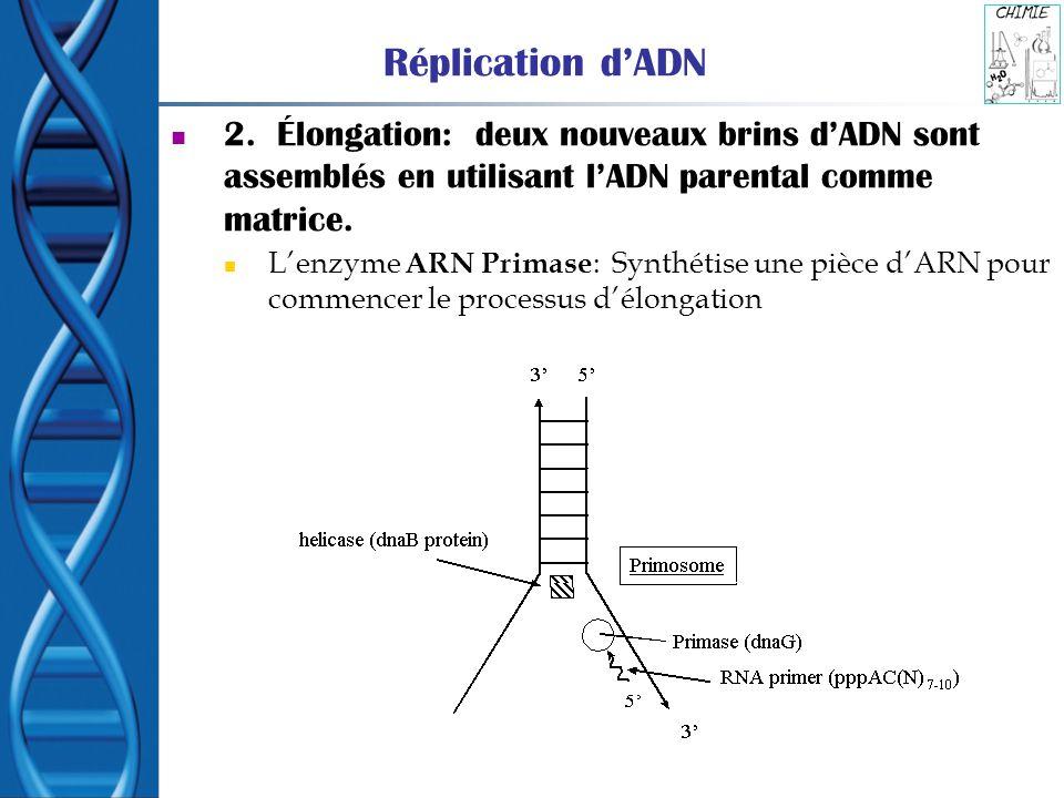Réplication d'ADN 2. Élongation: deux nouveaux brins d'ADN sont assemblés en utilisant l'ADN parental comme matrice.