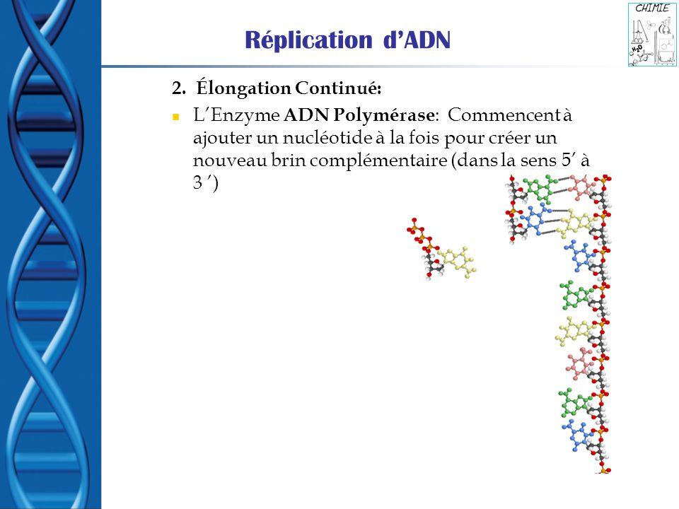 Réplication d'ADN 2. Élongation Continué: