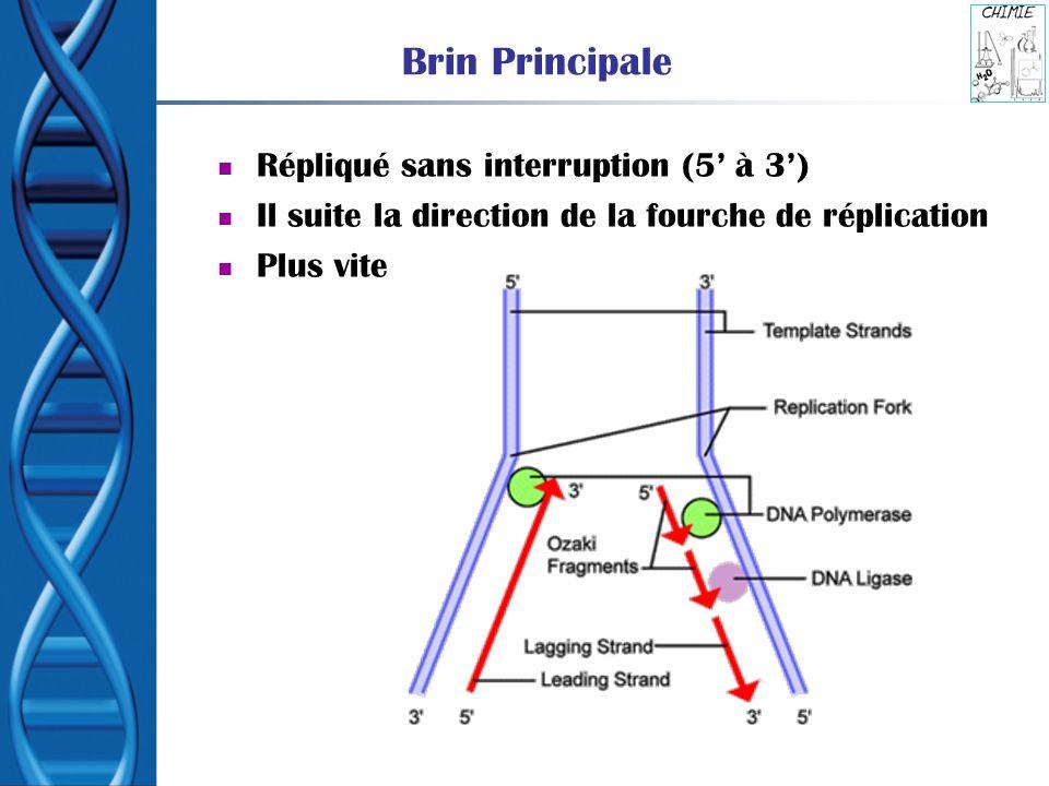 Brin Principale Répliqué sans interruption (5' à 3')