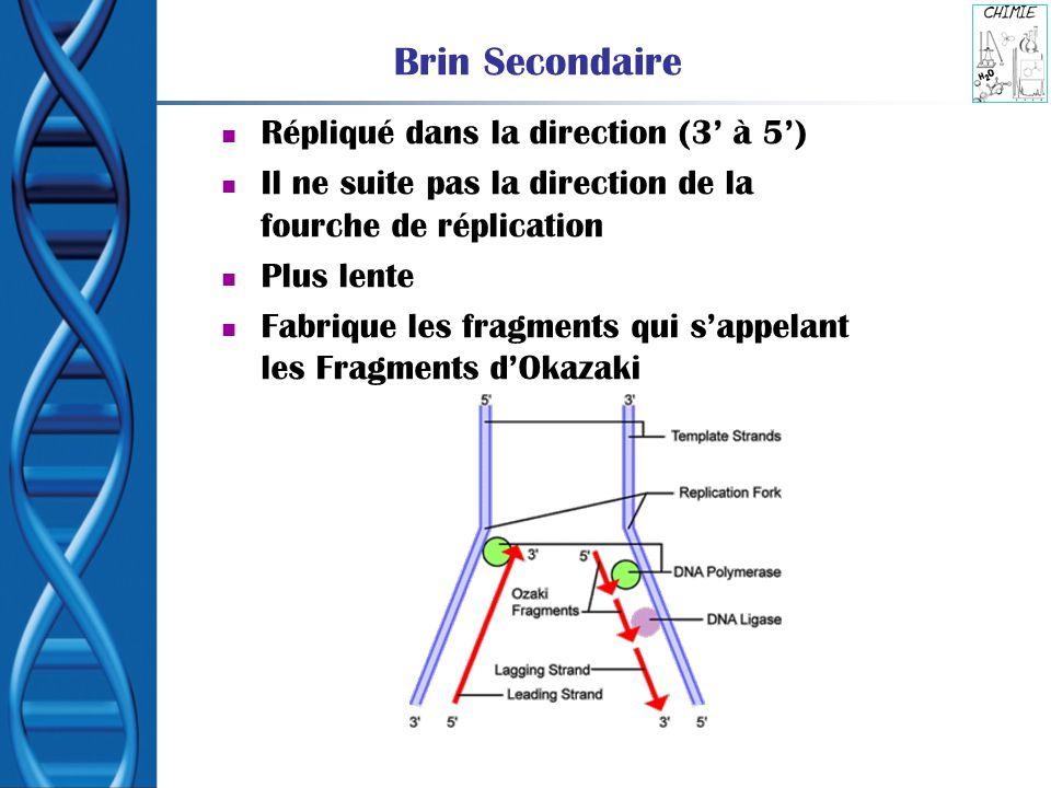 Brin Secondaire Répliqué dans la direction (3' à 5')