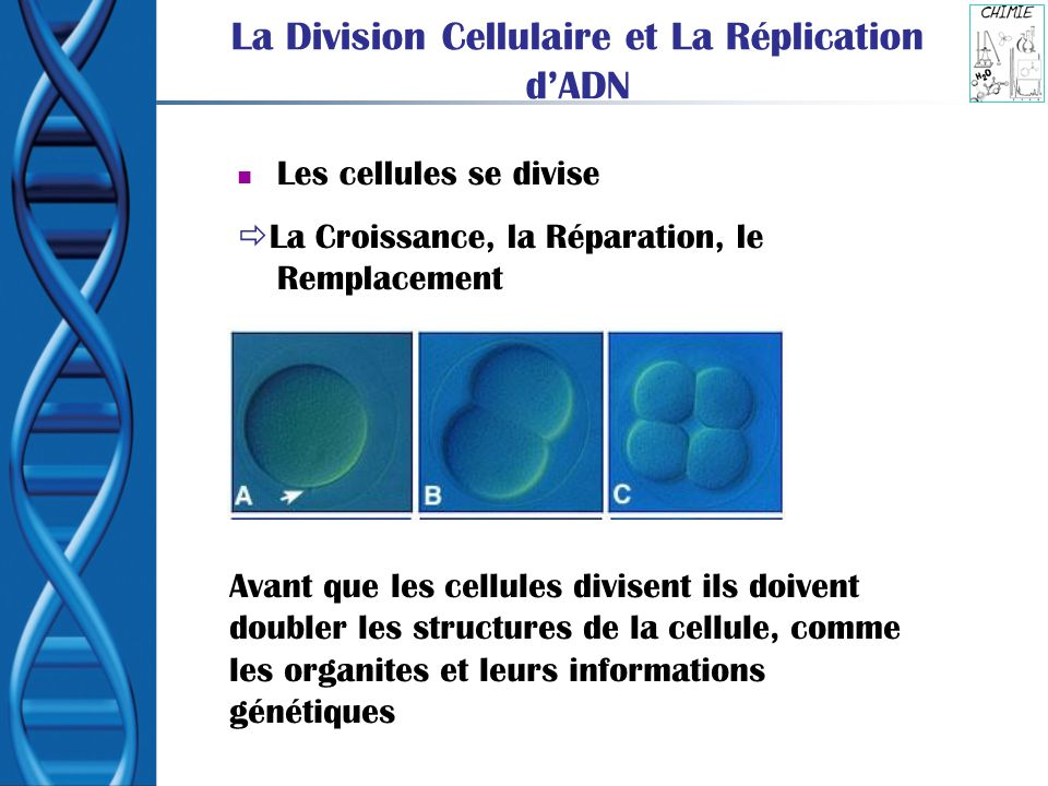 La Division Cellulaire et La Réplication d'ADN