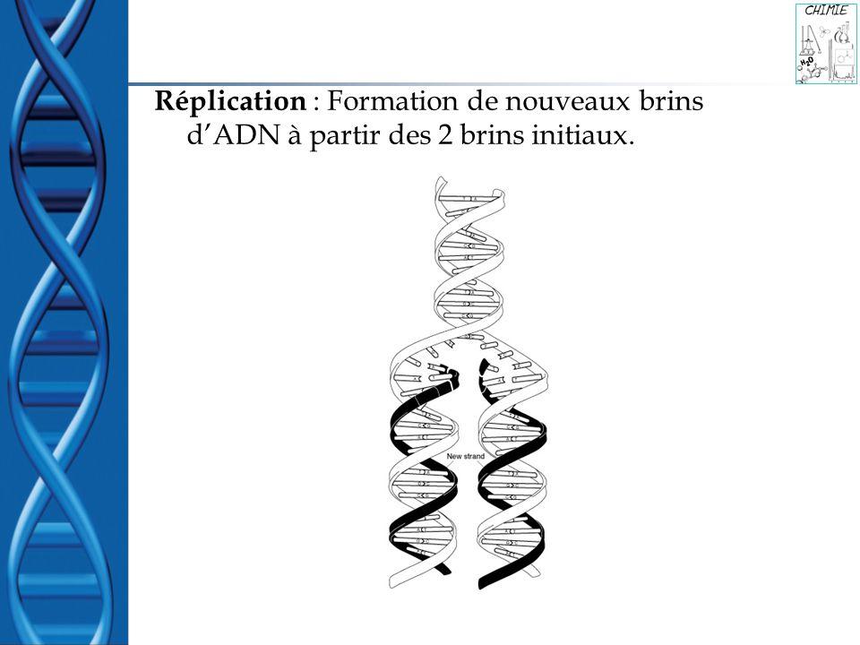 Réplication : Formation de nouveaux brins d'ADN à partir des 2 brins initiaux.