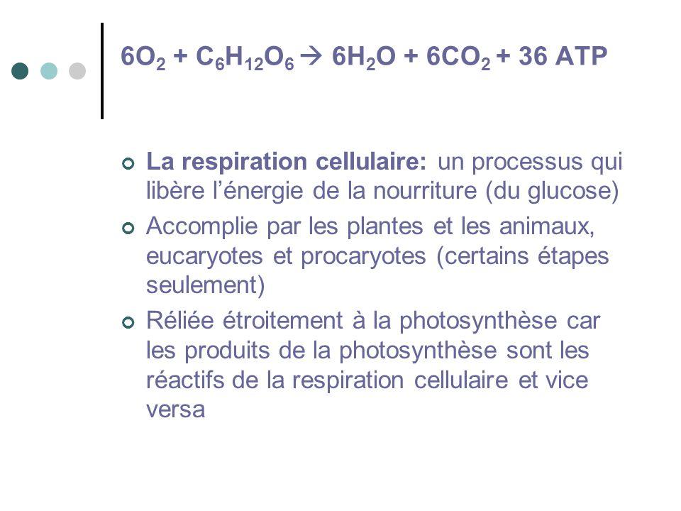 6O2 + C6H12O6  6H2O + 6CO2 + 36 ATP La respiration cellulaire: un processus qui libère l'énergie de la nourriture (du glucose)