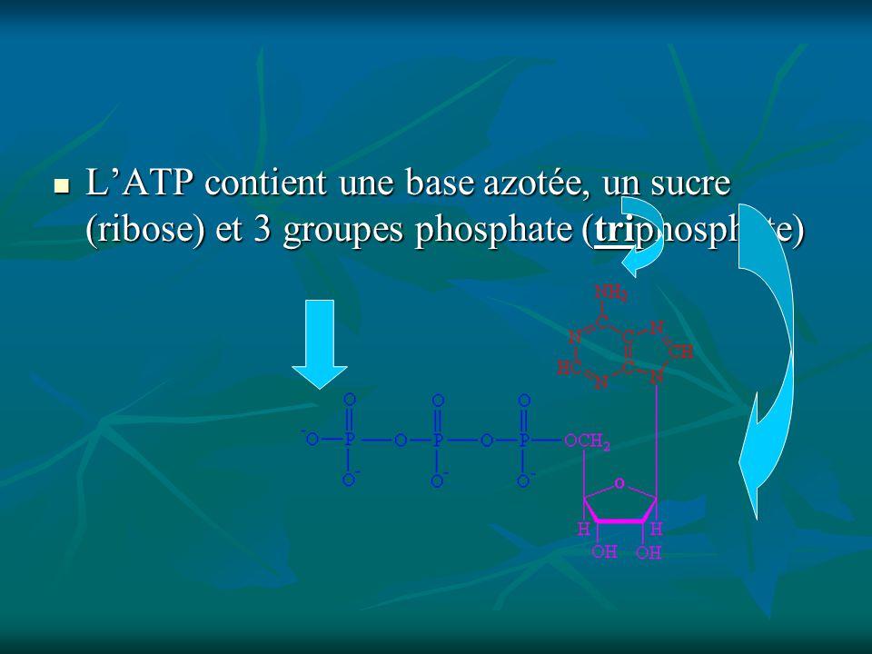 L'ATP contient une base azotée, un sucre (ribose) et 3 groupes phosphate (triphosphate)