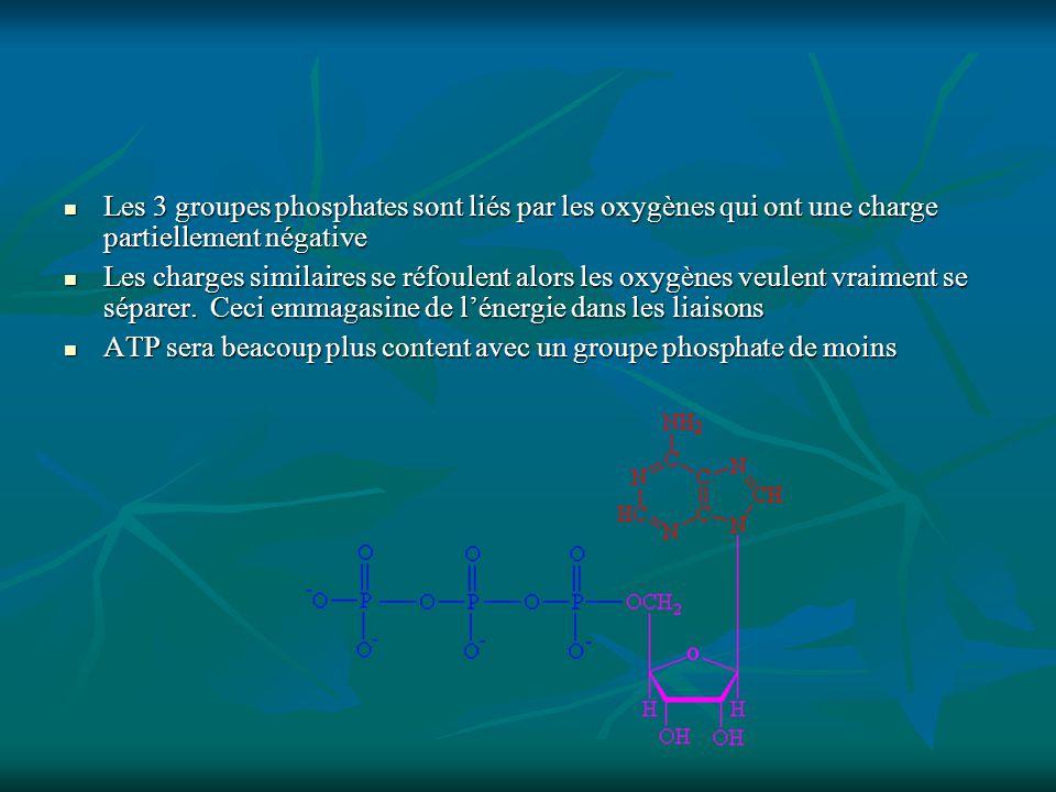 Les 3 groupes phosphates sont liés par les oxygènes qui ont une charge partiellement négative