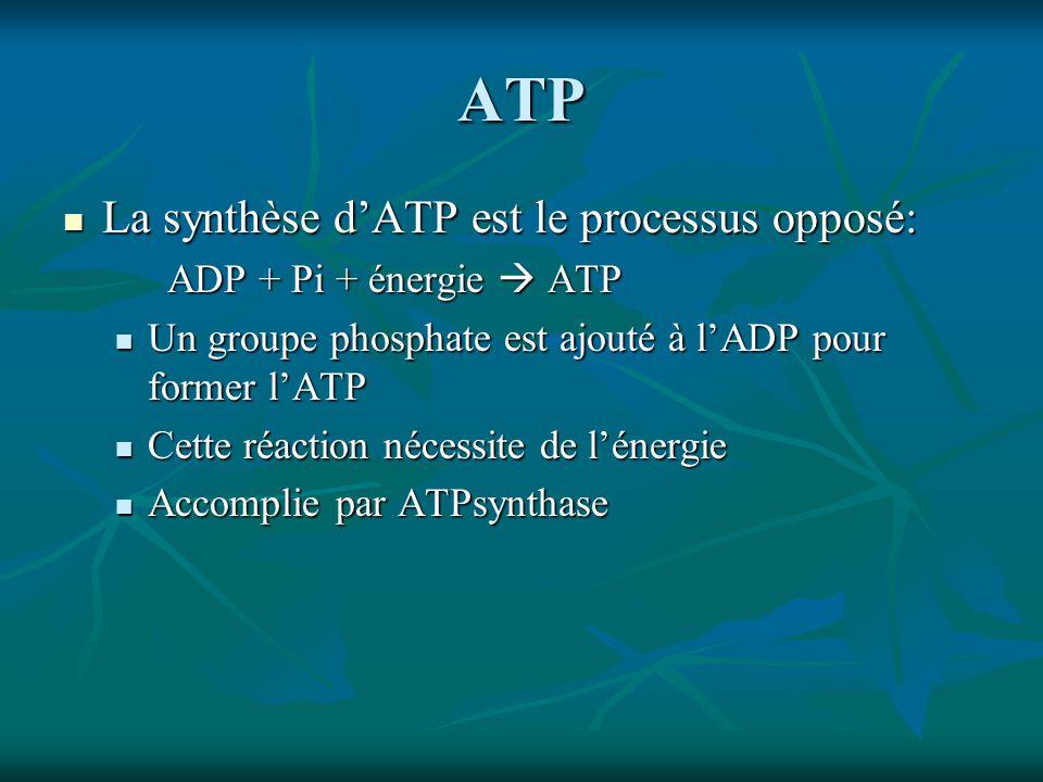 ATP La synthèse d'ATP est le processus opposé: