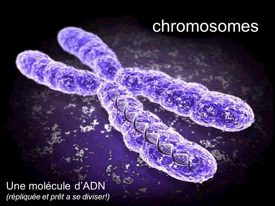 chromosomes Une molécule d'ADN (répliquée et prêt a se diviser!)