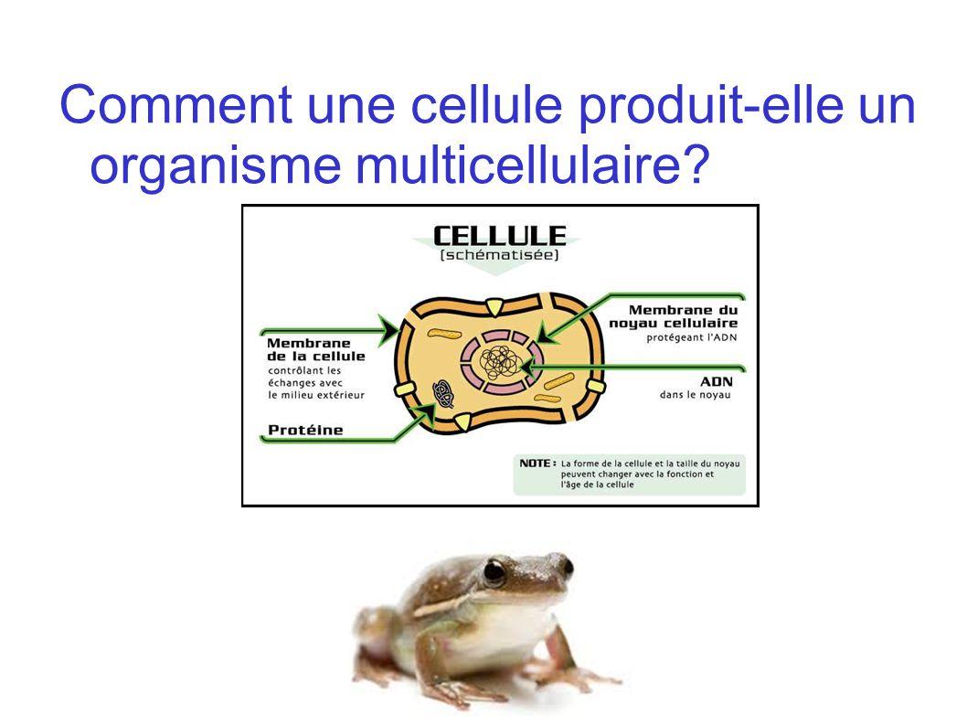Comment une cellule produit-elle un organisme multicellulaire