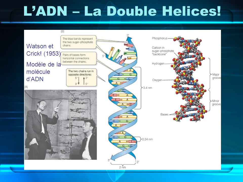 L'ADN – La Double Helices!