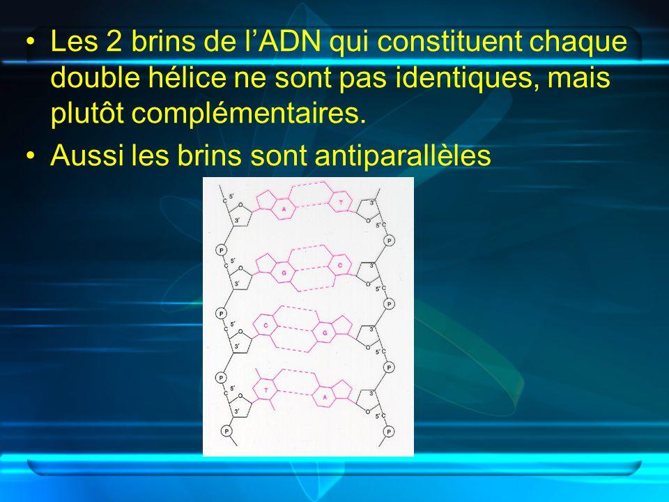 Les 2 brins de l'ADN qui constituent chaque double hélice ne sont pas identiques, mais plutôt complémentaires.