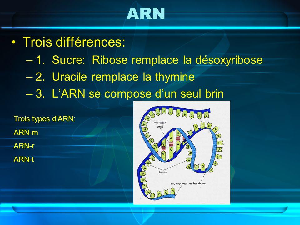 ARN Trois différences: 1. Sucre: Ribose remplace la désoxyribose