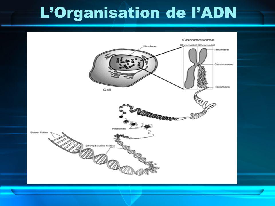 L'Organisation de l'ADN