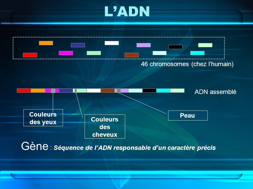L'ADN Gène : Séquence de l'ADN responsable d'un caractère précis