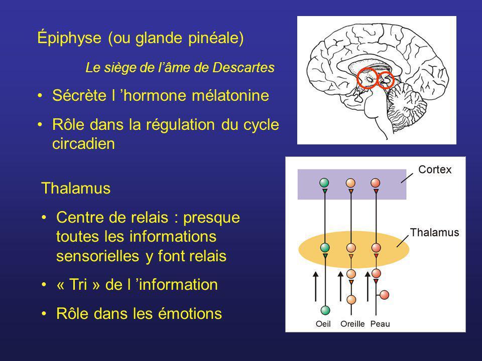 Épiphyse (ou glande pinéale)