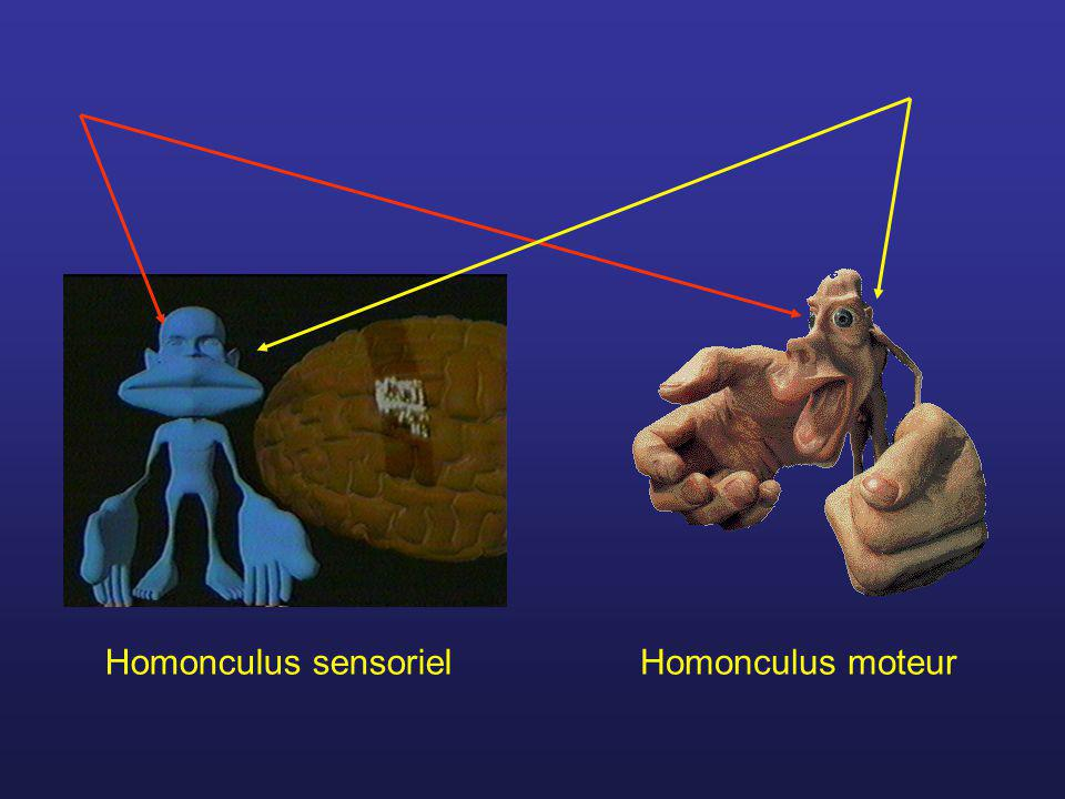 Homonculus sensoriel Homonculus moteur