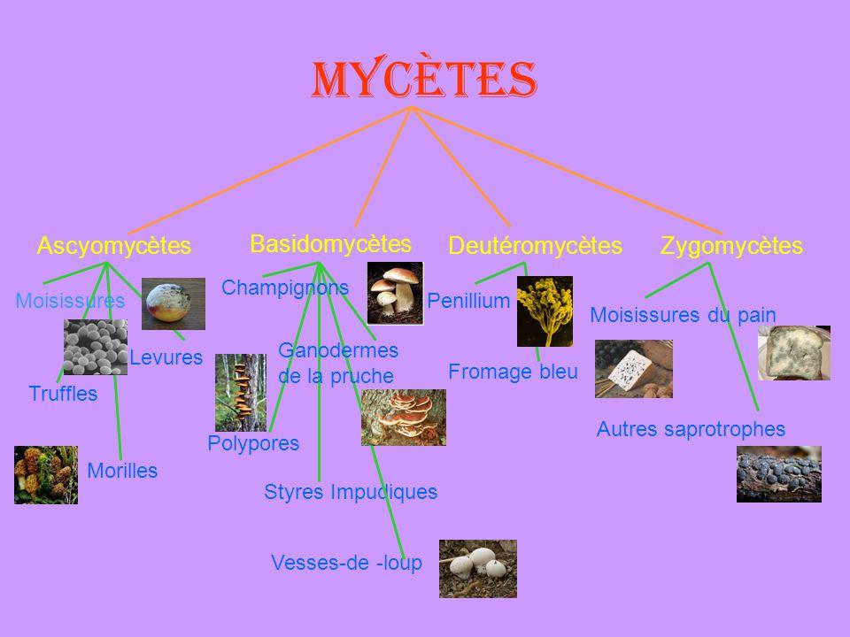 Mycètes Ascyomycètes Basidomycètes Deutéromycètes Zygomycètes