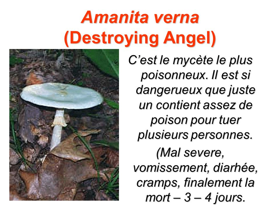 Amanita verna (Destroying Angel)