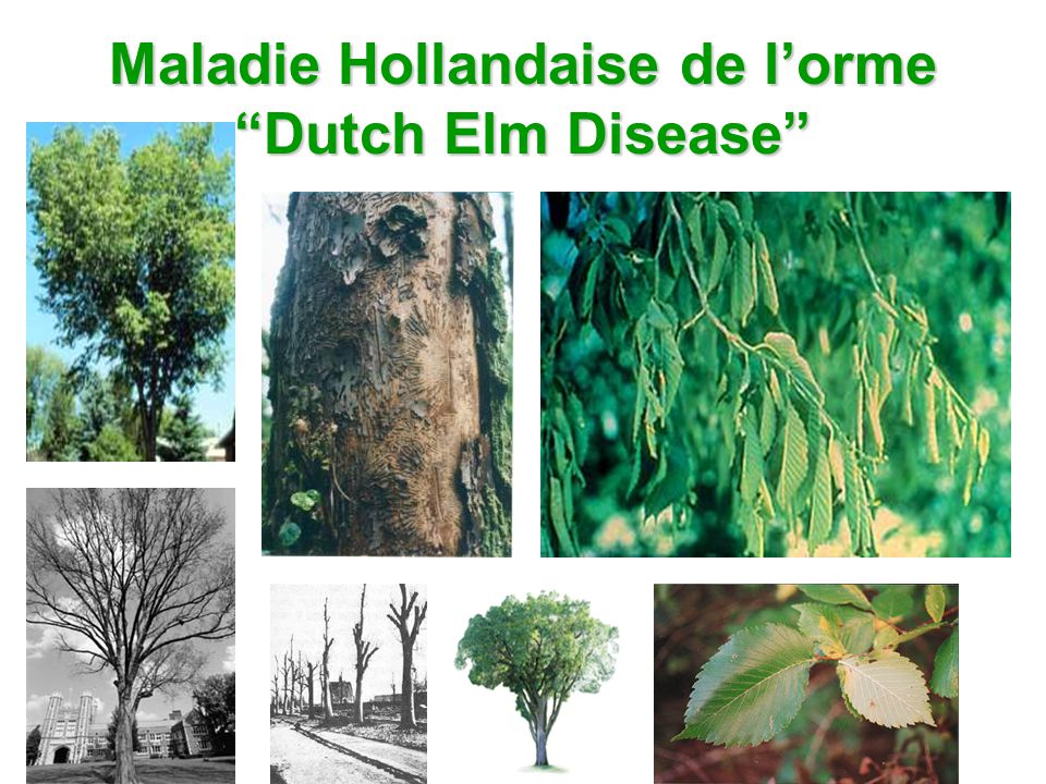 Maladie Hollandaise de l'orme Dutch Elm Disease