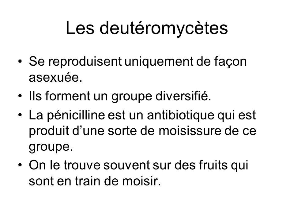 Les deutéromycètes Se reproduisent uniquement de façon asexuée.