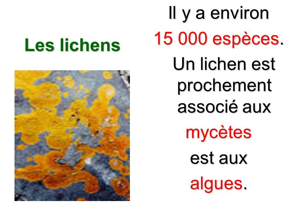 Un lichen est prochement associé aux