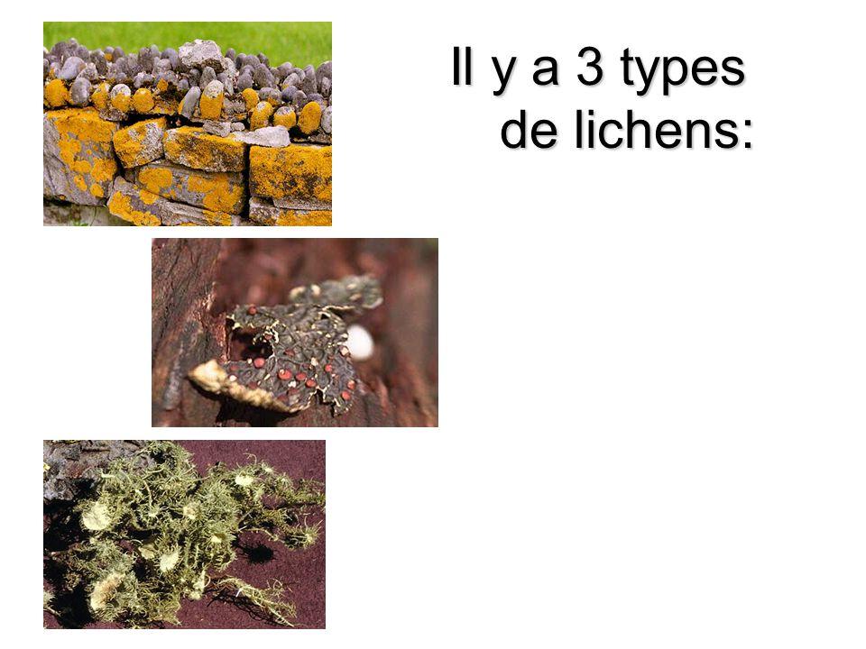 Il y a 3 types de lichens: