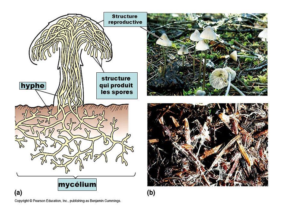 hyphe mycélium structure qui produit les spores Structure reproductive