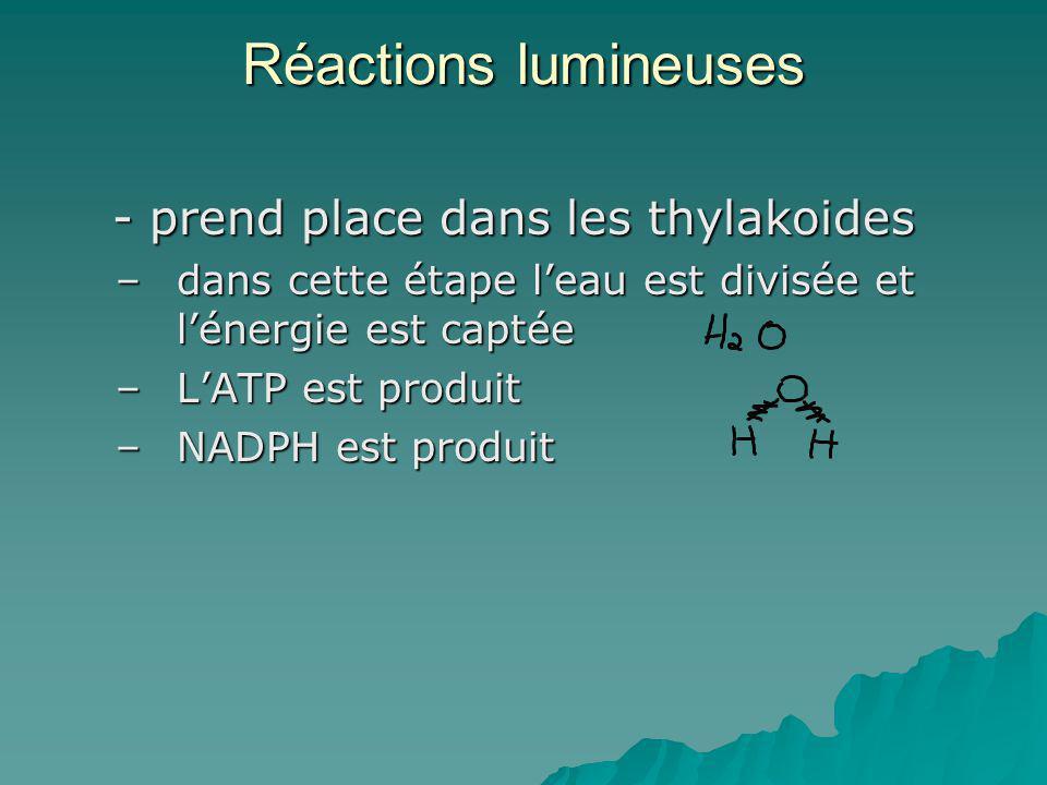Réactions lumineuses - prend place dans les thylakoides