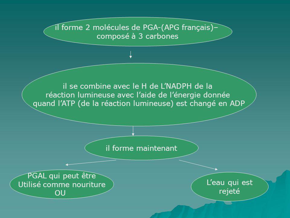 il forme 2 molécules de PGA-(APG français)– composé à 3 carbones