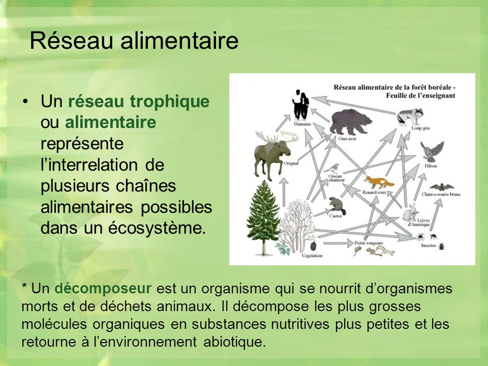Réseau alimentaire Un réseau trophique ou alimentaire représente l'interrelation de plusieurs chaînes alimentaires possibles dans un écosystème.