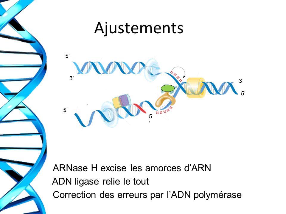 Ajustements ARNase H excise les amorces d'ARN ADN ligase relie le tout