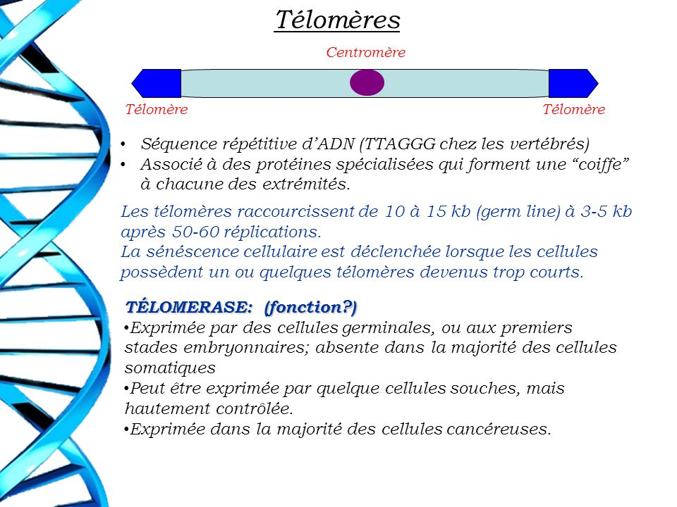 Télomères Séquence répétitive d'ADN (TTAGGG chez les vertébrés)