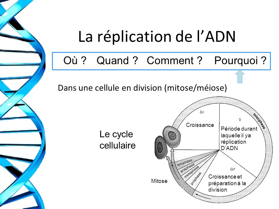 La réplication de l'ADN