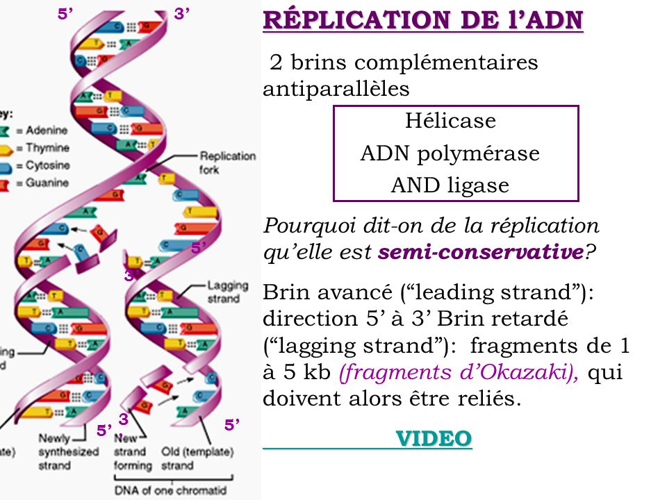 RÉPLICATION DE l'ADN 2 brins complémentaires antiparallèles Hélicase