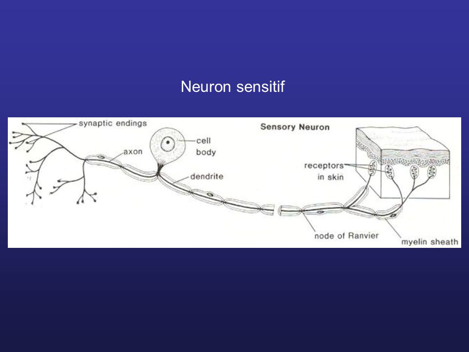 Neuron sensitif